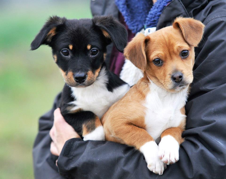 Livorno cuccioli di taglia piccola. 1_femmina 2_bo 5_maschio 4_maschio  3_maschietti