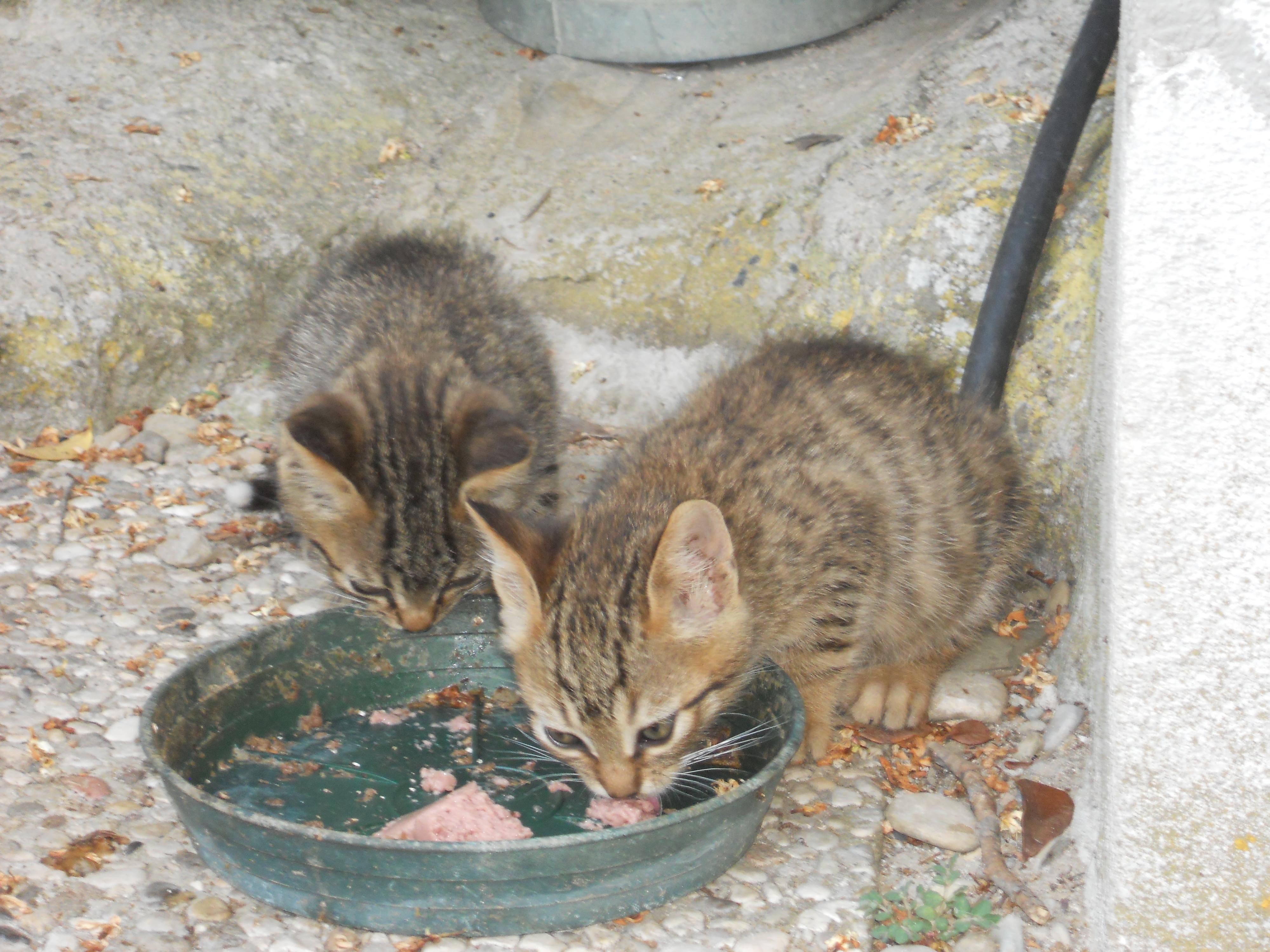 Non Piu Adottabili Gattini Tigrati In Provincia Di Firenze