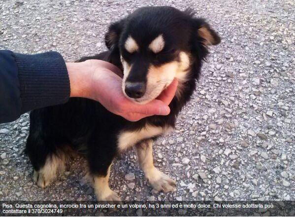 Adottata canina di taglia picola cerca casa pisa for Pincher volpino