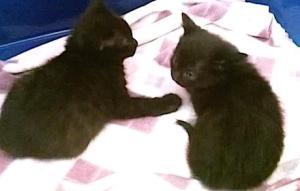 due gattini neri veronica