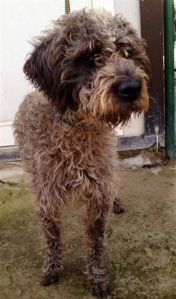 LAGOTTO GOTTY (30)