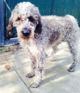 LAGOTTO GOTTY (31)