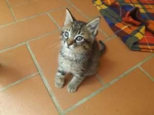 gattina tigrata 2